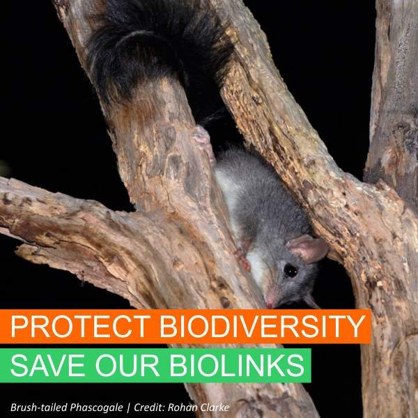 Save Our Biolinks - Brush-tailed Phascogale